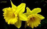 گل پیازی نرگس شیرازی