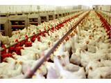 نرخ جدید مرغ و انواع مشتقات آن/قیمت به ۷۱۵۰ تومان رسید